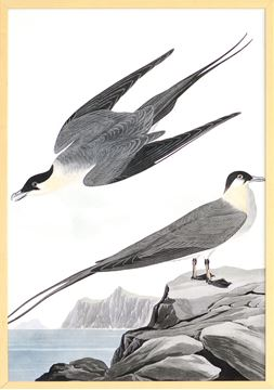 Picture of Audubon - Arctic Yager