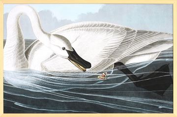 Picture of Audubon - Trumpeter Swan
