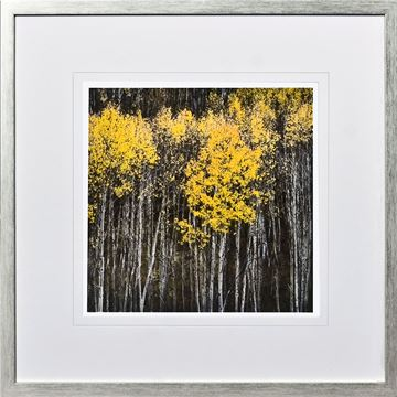 Picture of Birch Tree Study I