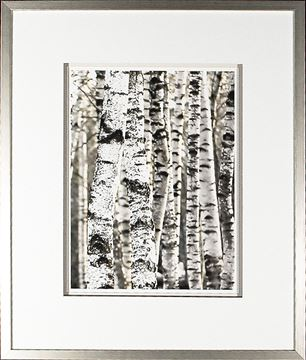 Picture of Silver Birch - Group II