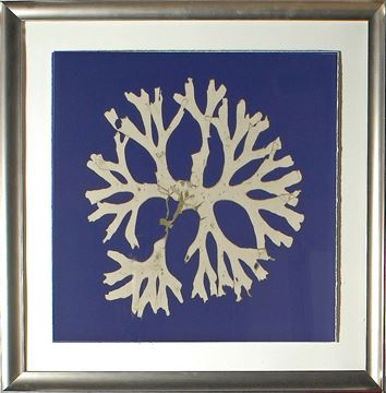 Picture of Seaweed On Navy I