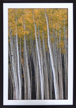 Picture of Yellow Aspens