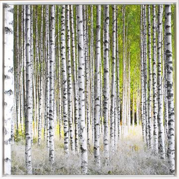 Picture of Sunlight Birches  - Framed Canvas