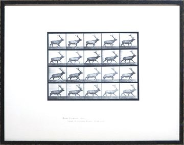 Picture of Muybridge - Elk