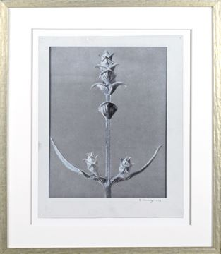 Picture of Blossfeldt Plant Study III - Large