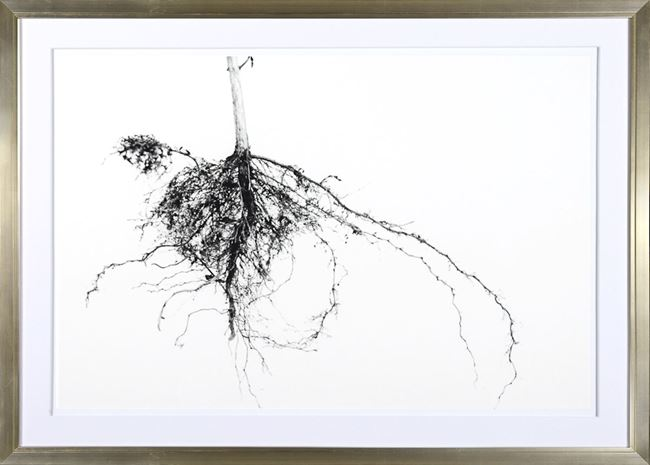 Picture of Root System I