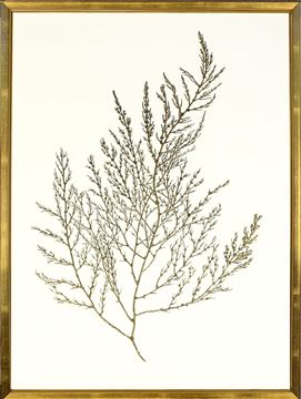 Picture of Gold Foil Algae II