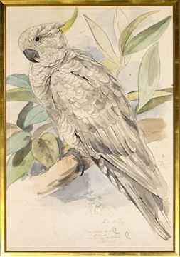Picture of Lear - Sulphur Crested Cockatoo - Lrg