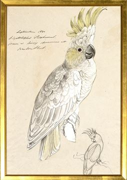 Picture of Lear - Lesser Sulphur Crested Cockatoo - Sml