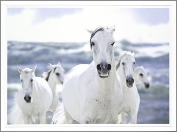 Picture of White Lipizzaner On The Beach