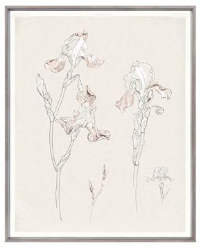 Picture of Drawing Study Bearded Iris, Early 20Th Century