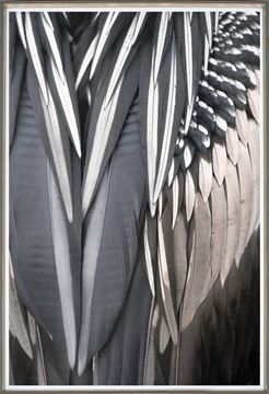 Picture of Anhinga Feather - Detail