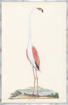 Picture of Gordons Flamingo Circa 1777