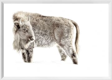 Picture of Mod. Farm - Juvenile Buffalo - Mini - White