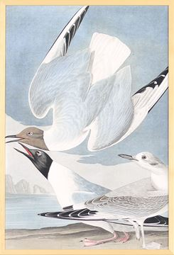 Picture of Audubon - Bona Partian Gull