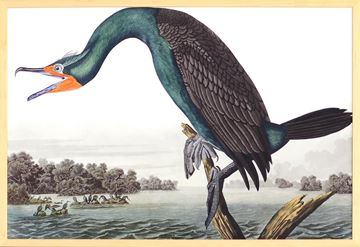 Picture of Audubon - Florida Cormorant