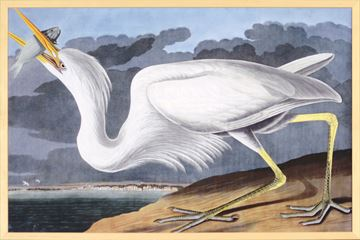Picture of Audubon - Great White Heron