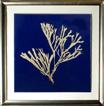 Picture of Seaweed On Navy II