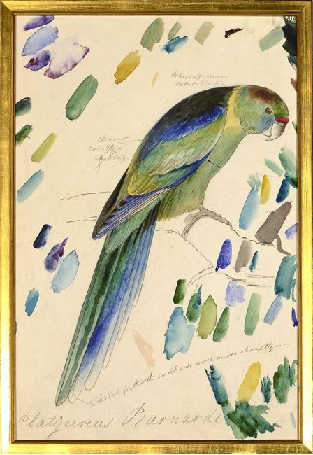 Picture of Lear - Barnard's Parakeet - Sml