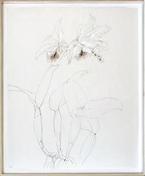Picture of Drawing Study Orchid, Early 20Th Century