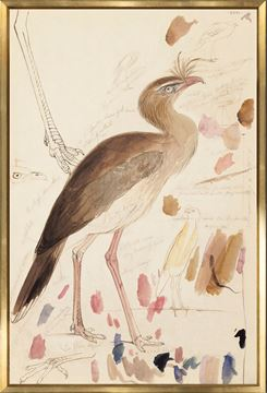 Picture of Lear - Red-Legged Seriema - Large
