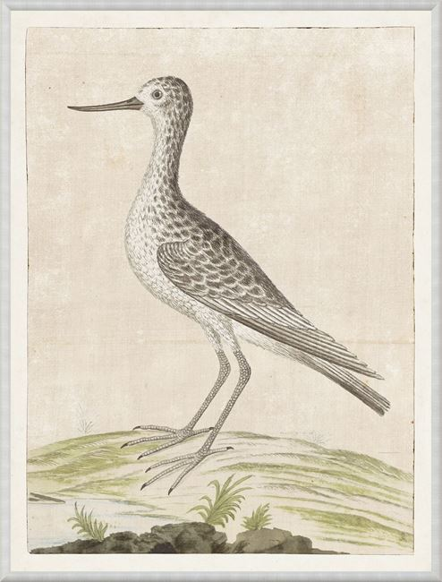 Picture of Gordon - Common Greenshank, 1778